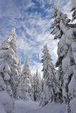 Snowy pine forest. Beautiful snowy pine forest in transylvania Stock Photo