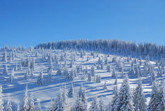Snowy Pine Forest Stock Photos