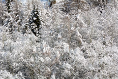 Snowy pine forest Stock Image