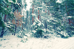 Snowy pine forest Royalty Free Stock Images