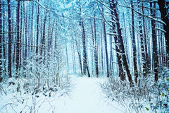 Snowy pine forest Royalty Free Stock Photo
