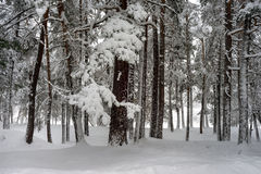 Snowy pine forest Royalty Free Stock Image