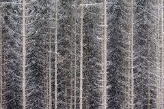 Snowy pine forest in Europe. Royalty Free Stock Image