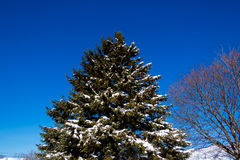 Snowy Pine Tree stock image