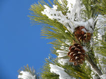 Snowy Pine Tree Branch. Ice covered spray looking like a glassy flower in a sunny day with blue sky Stock Photos