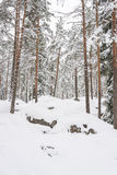 Snowy pine tree forest Stock Photography