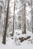 Snowy pine tree forest Royalty Free Stock Image