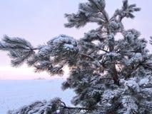 Snowy  pine tree, Lithuania Royalty Free Stock Photo