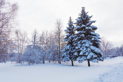 Snowy Pine Tree Royalty Free Stock Photography