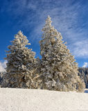 Snowy pine trees with blue sky Royalty Free Stock Photo