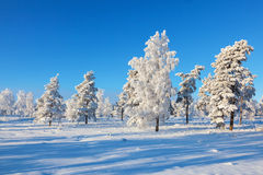 Snowy pine trees at the forest Royalty Free Stock Photography