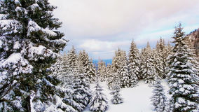 Snowy pine trees in a forest Stock Photos