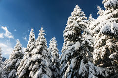 Snowy Pine Trees Royalty Free Stock Photo
