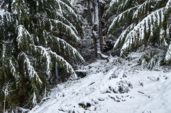 Snowy pine trees Royalty Free Stock Photography