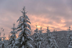 Snowy Pine Trees Sunset Royalty Free Stock Photos