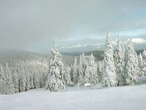 Snowy pine trees in winter Stock Image