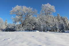 Snowy pine trees winter Royalty Free Stock Photography