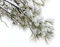 Snowy pine twig Royalty Free Stock Images