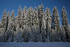 Snowy pines Royalty Free Stock Images