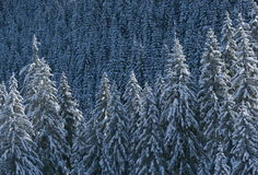 Snowy pines Stock Photography