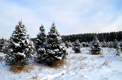 Snowy Pines in a field Stock Image