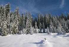 Snowy pines and pastors Stock Image