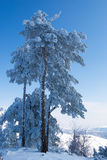 Snowy pines Royalty Free Stock Photos