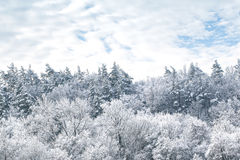 Snowy pines and sky with clouds Royalty Free Stock Image
