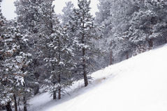 Snowy Pines on a Steep Slope During a Storm Royalty Free Stock Photo
