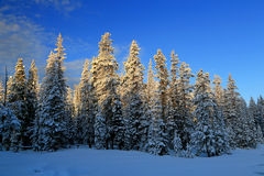 Snowy pines Royalty Free Stock Image