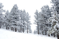 Snowy Pines with View Through a Gap Stock Image