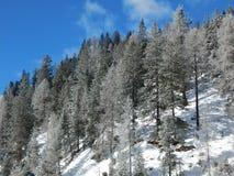 Snowy pines Stock Image