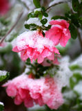 Snowy Pink Azalea Royalty Free Stock Images
