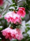 Snowy Pink Azalea. Springtime snowfall on an azalea already in bloom Royalty Free Stock Images