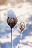 Snowy plant Royalty Free Stock Photos