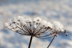Snowy plant Royalty Free Stock Photo