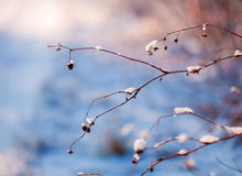Snowy plants royalty free stock photo