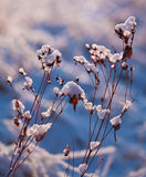 Snowy plants Stock Photography