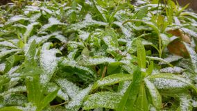 Snowy plants pikes Stock Images