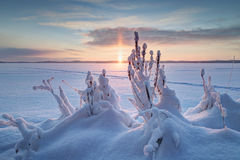 Snowy plants and sunrise in Finland Stock Photography
