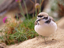 Snowy Plover Royalty Free Stock Photos