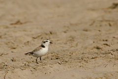 Snowy Plover Stock Photo