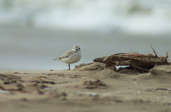 Snowy Plover on Beach Stock Images