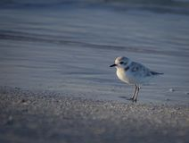 Snowy Plover at the beach in Florida, USA. Snowy Plover at the beach Stock Image