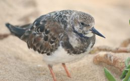 Snowy Plover (Charadrius alexandrinus) Royalty Free Stock Images
