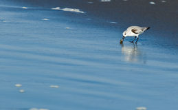 Snowy Plover (Charadrius alexandrinus nivosus) Stock Image