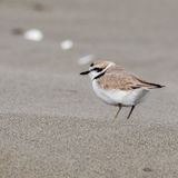 Snowy Plover. (Charadrius nivosus) in the sand Royalty Free Stock Photography