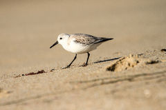 Snowy Plover. This image of a Snowy Plover was captured on the beach in Carlsbad, California Royalty Free Stock Image