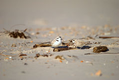 Snowy plover pair Royalty Free Stock Image