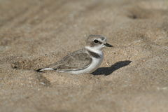 Snowy Plover sitting on the sand. & looking at me royalty free stock images